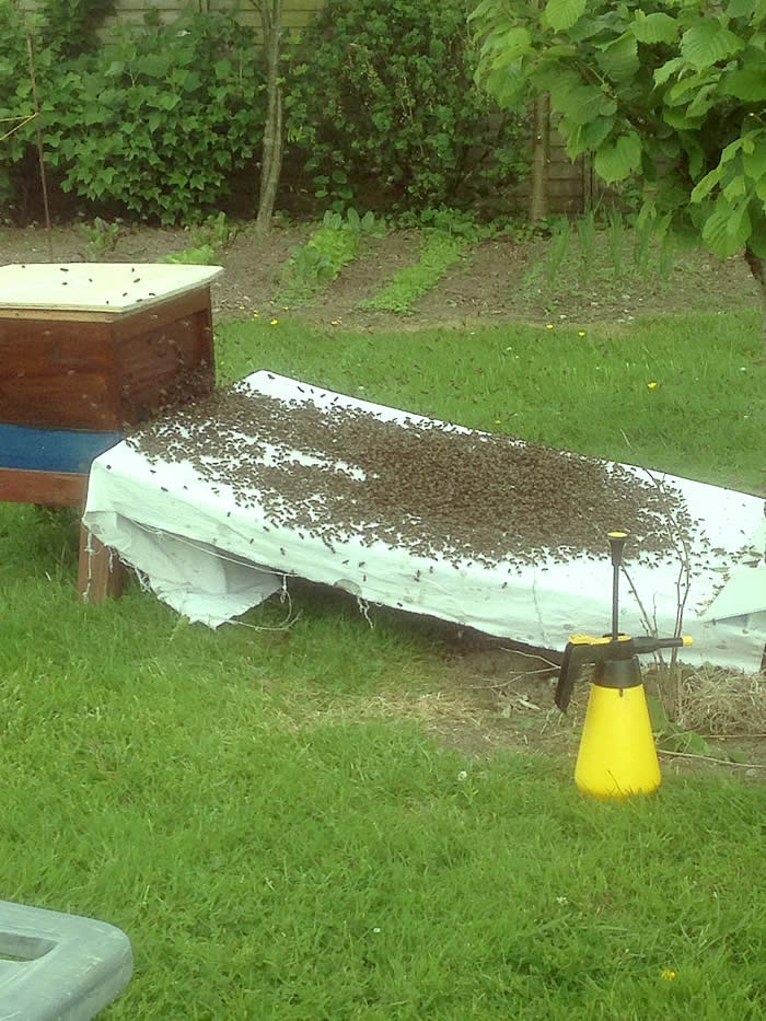 Swarming Honey Bees Marching into a Hive Box