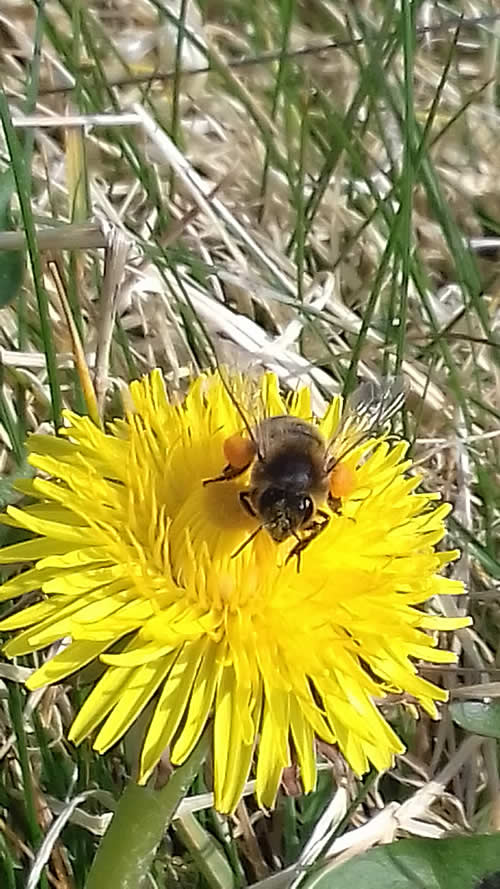 A Honey Bee Working a Dandelion