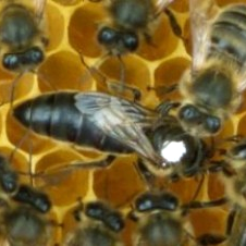 Nativ Irish Honey Bee Society (NIHBS)