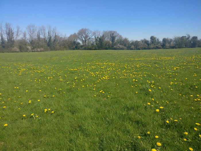 A Field of Dandelions in Limerick