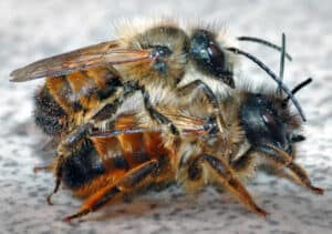 Red Moson Bees