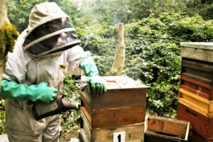 A Beekeeper Smoking the Hive Before Opening it