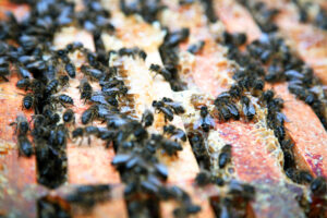 Worker Bees On the Top Bar of Frames
