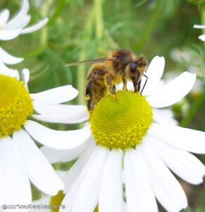 Worker Bee Foraging