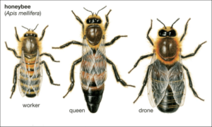 Worker Queen and Drone Compared