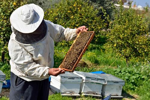 Beekeeper Inspecting His Bees
