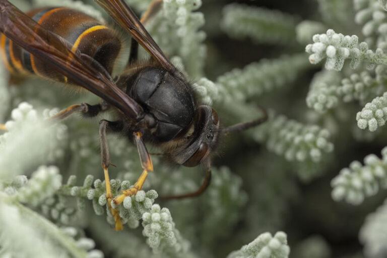 Asian Hornet - Vespa Velutina on Vegetation