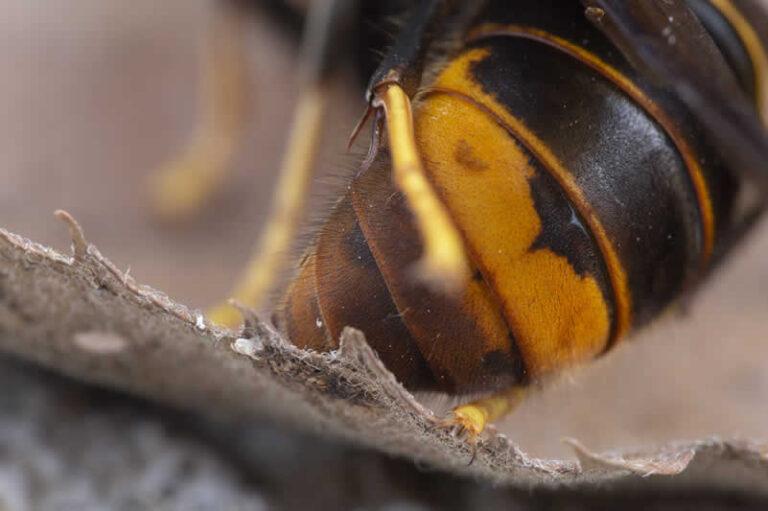 Yellow Band of Asian Hornet - Vespa Velutina