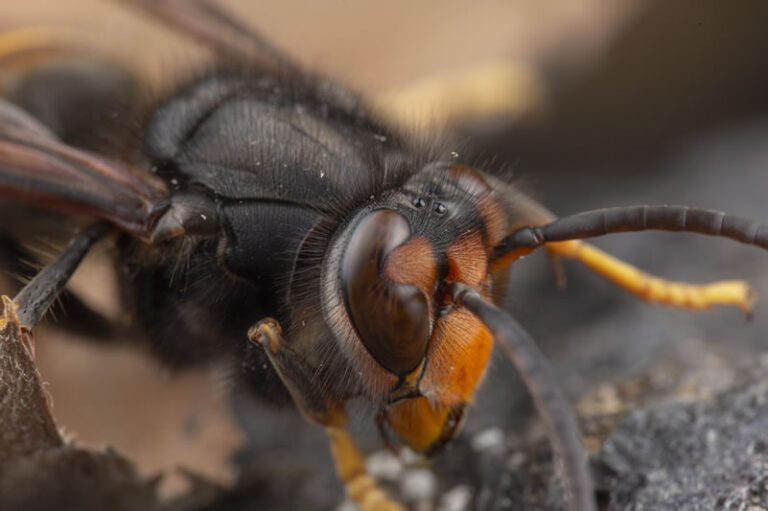 Asian Hornet - Black Head and Yellow Face